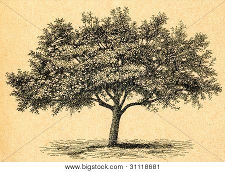 Blommande äppelträd - gammal illustration av okänd konstnär från Botanika Szkolna na Klasy Nizsze, auth