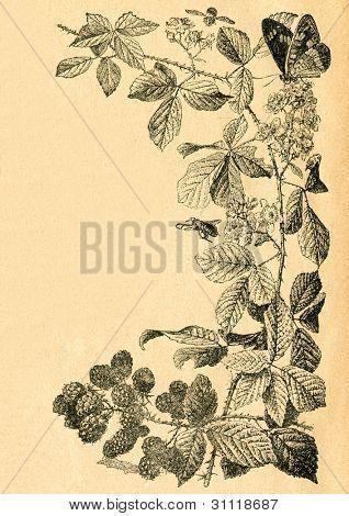 Kvist av blackberry med blommor och frukter - gammal illustration av okänd konstnär från Botanika Szkoln