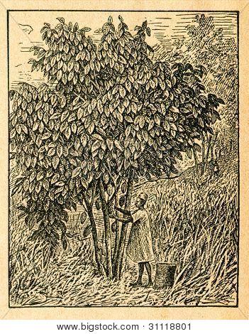 Cacao träd med frukter - gammal illustration av okänd konstnär från Botanika Szkolna na Klasy Nizsze, en