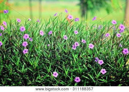 Ruellia Flowers, Flower Ruellia In The Garden In Bloom. This Flower Is Shaped Like A Trumpet And Is