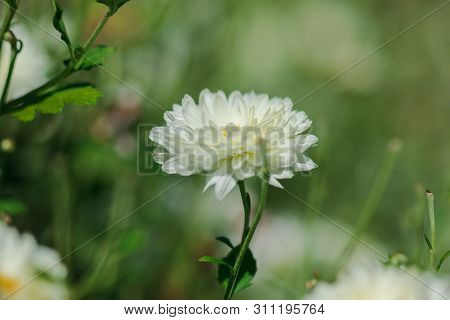 Dendranthema morifolium has white flowersCultivated well in highland areas of Thailand Which are so