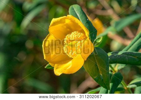 Hypericum hookerianum Wight is a rare area found in the evergreen forest. In Thailand, found only in