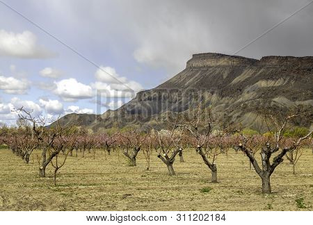 Mt Garfield And The Blooming Peach Trees Of Palisade Colorado
