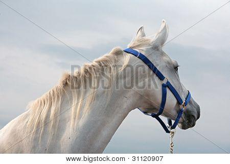 Portrait of a white horse head