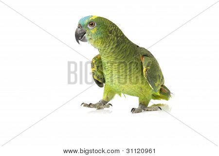 Blue fronted Amazon parrot walking on white background