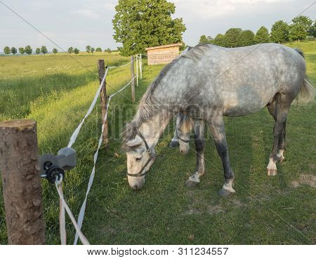 Portrait Of Standing White Kladruber Horse Equus Bohemicus On Green Pasture Corral Oldest Czech Hors