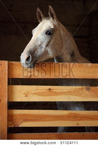 Spotted horse in their barn