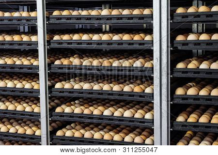 Tiered Shelving With Chicken Eggs In A Large Agro-industrial Incubator