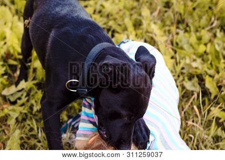 Dog, Dark Color Attacked A Little Girl With White Hair. Bite Baby
