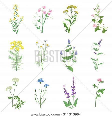 Wild Herbs Color Set Isolated. Wildflowers, Herbs, Leafs. Garden And Wild Foliage, Flowers, Branches