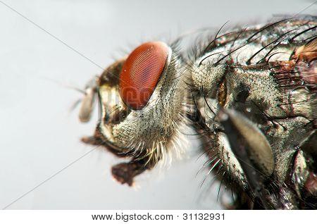 Macro view of housefly