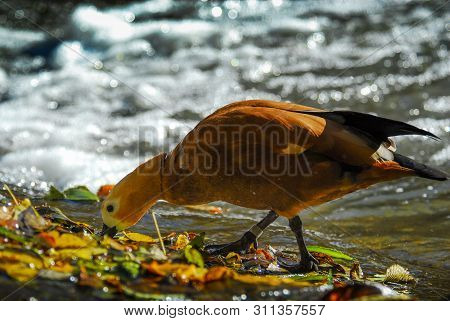 Duck On The Lake Eating Water Bokeh Nature Birds Wild Autumn