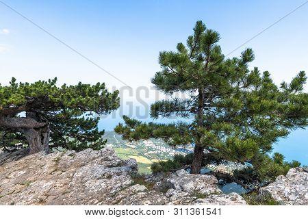 Beautiful Coniferous Tree On A Ah-petri Mountain In Crimea