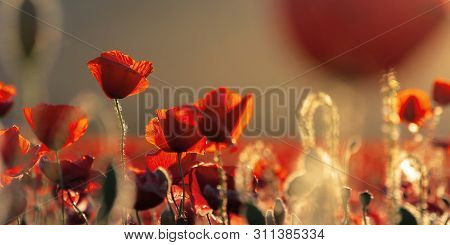 Red Poppies In The Field In Evening Light. Beautiful Nature Panorama With Flowers. Sunny Weather. Sh