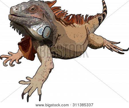 Lizard Iguana On A White Background. Vector Illustration.