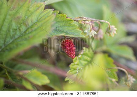 Fruit Of A Mock Strawberry, Duchesnea Indica. Blurr