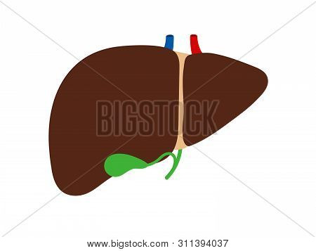 Liver And Gallbladder Isolated On White Background Vector. Main Organ Gallbladder, Healthy Anatomy I