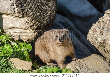 Cape Hyrax (procavia Capensis) Or Dassie, Having Incomplete Thermoregulation Warms Up On The Rock In