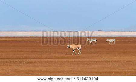 A fringe-eard oryx and to zebra walk across a dry lake bed in Amboseli. Blue sky and heat haze background.