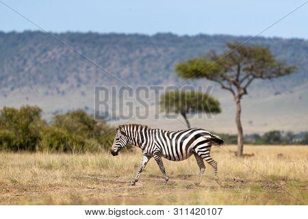 Common zebra, Equus Quagga, walking across the grasslands of the Masai Mara, Kenya. Side view with acacia trees and the Oloololo escarpment beyond..