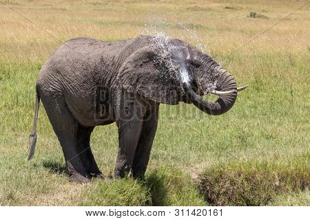 Standing African elephant sprays himeslf with cool water, in the Masai Mara, Kenya.
