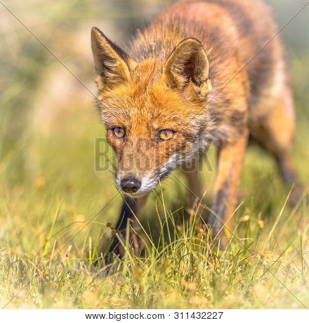 Red Fox (vulpes Vulpes) In Natural Vegetation. This Beautiful Wild Animal Of The Wilderness. Shred L