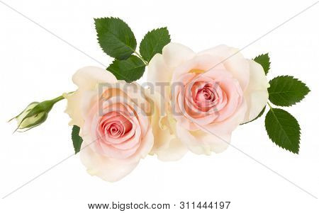 two pink roses isolated on white background closeup. Rose flower bouquet in air, without shadow. Top view, flat lay.