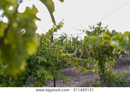 Vineyard Landscape With Irrigation System With Drip Of Water, At Sunset. Raïmat Wines. Caberneet Sau