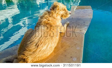 Sweet Terrier Cooling Off Near The Water Of The Swimming Pool On A Hot Sunny Day.