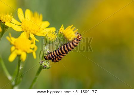 Black And Yellow Caterpillar Insect On Yellow Flower