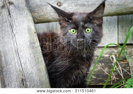Little Black Kitten Maine Coon In The Yard. Frightened Little Cat Bulged His Eyes And Pricked Up His
