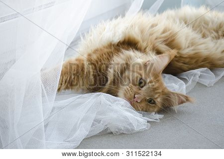 Large Red Marble Maine Coon Cat Lies On A White Curtains And Stretches
