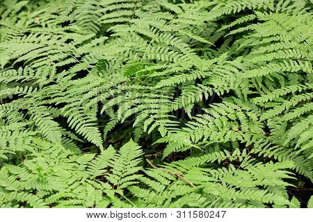 Fern Leaves In The Forest Closeup, Background Or Texture