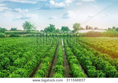 Plantations Of Sweet Bulgarian Bell Pepper. Farming And Agriculture. Cultivation, Care And Harvestin