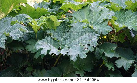Showy And Bright Brazilian Giant-rhubarb Leaves Closeup. Known As Gunnera Manicata, Giant Rhubarb,