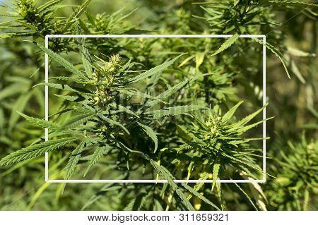 Mature Marijuana Plant With Bud And Leaves. Texture Of Marijuana Plants At Indoor Cannabis Farm. Can
