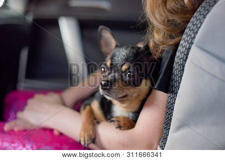 Companion Dog Sitting In The Car. Chihuahua Dog In The Car In The Hands Of A Little Girl. Chihuahua