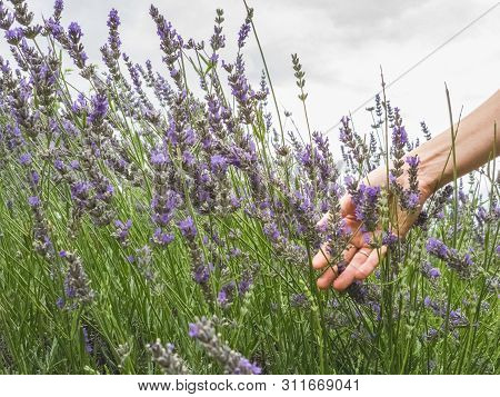 Female Hand Gently Touching The Lavender Bushes In Bloom In A Field Of Lavender