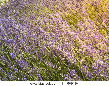 Sunshine Over A Beautiful Violet Lavender Field