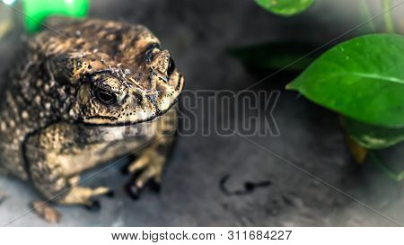 Toad Face Portrait Of Large Amphibian In The Nature Habitat. Animal In The Tropic Forest. Wildlife S