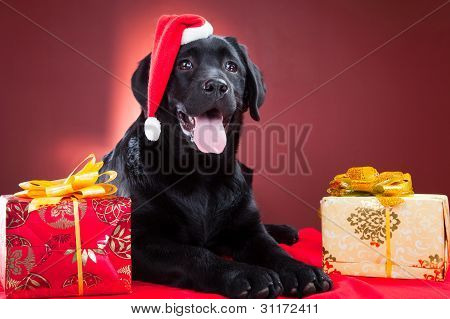 Black Labrador Retriever Wearing Red Cap Of Santa