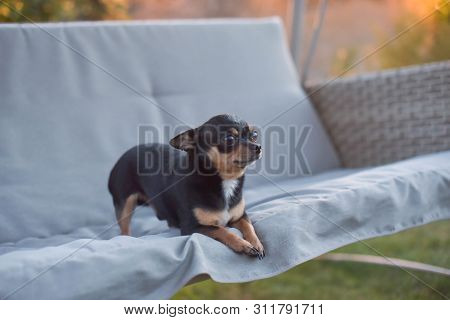 Chihuahua Dog Chihuahua Sits On A Swing. Tricolor Dog Black-and-white-brown. The Dog Is Resting On N