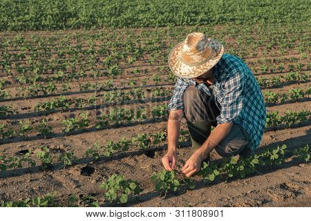 Farmer Working On Soybean Plantation, Examining Crops Development In Early Growth Stages, Responsibl