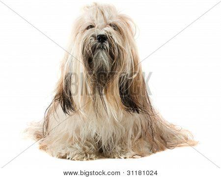 Cute Lhasa Apso Dog