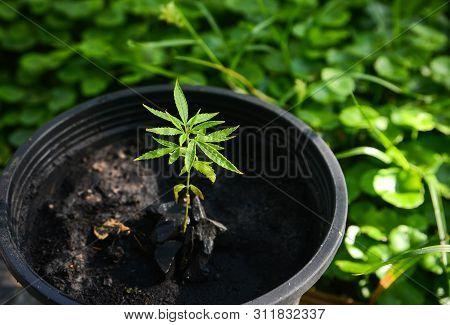 Home-grown Marijuana, Cannabis Growing In The Flowerpot, Cannabis Sativa