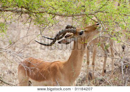 Grant's Gazelle Eating Leaves