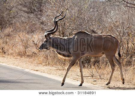 Nyala antelope walking in the bushes in South Africa poster