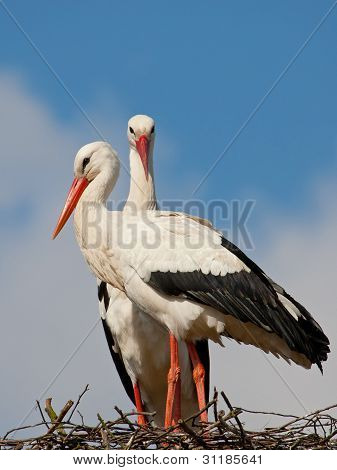 Two Storks On A Nest