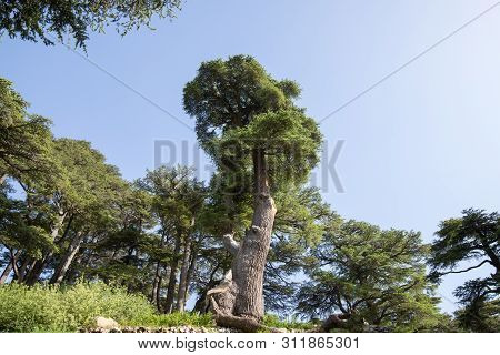 Lebanon Cedar. The Cedars Of God Located At Bsharri, Are One Of The Last Vestiges Of The Extensive F