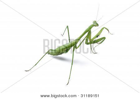 Female praying mantis Rhombodera Basalis ready to strike on white background